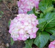 La hortensia rosada florece el flor Foto de archivo