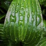 La hosta lascia il fondo con le gocce di pioggia Colore verde fresco luminoso e tonalità Natura dopo pioggia fotografie stock libere da diritti