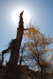 La HU yang tree7 Fotografia Stock Libera da Diritti