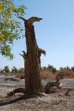 La HU yang tree9 Immagine Stock Libera da Diritti