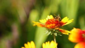 la Humilde-abeja se sienta en la flor hermosa amarillo-roja en naturaleza en verano almacen de video