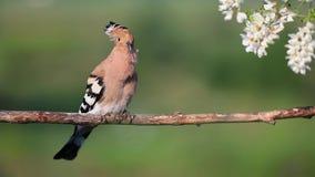 La huppe chante une chanson se reposant pr?s des fleurs de l'acacia banque de vidéos