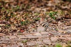 La huppe commune, epops d'Upupa, oiseau, était perché sur la branche d'arbre Photographie stock