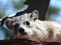 La hyracoidea sveglia in Africa affronta il primo piano immagini stock