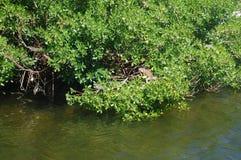 La iguana Foto de archivo