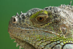 La iguana Fotos de archivo libres de regalías