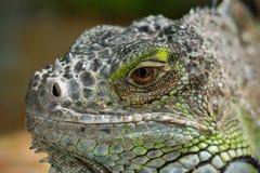 La iguana Fotografía de archivo