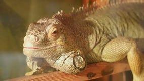 La iguana es el sentarse inmóvil y mirada de la cámara almacen de video