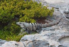 La iguana está descansando sobre una roca en la costa costa mexicana Imágenes de archivo libres de regalías