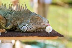 La iguana grande en la demostración de la fauna lame el plátano Imagenes de archivo