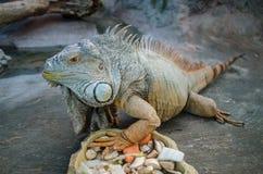 La iguana grande verde con la cola rayada mira fijamente a través del vidrio en el parque zoológico de Kiev imagenes de archivo