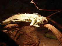 La iguana miente en una rama fotografía de archivo libre de regalías