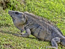 La iguana negra, similis de Ctenosaura, es un lagarto masivo, residiendo sobre todo en la tierra, Belice imagen de archivo libre de regalías