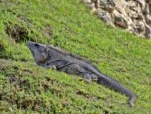 La iguana negra, similis de Ctenosaura, es un lagarto masivo, residiendo sobre todo en la tierra, Belice imagenes de archivo