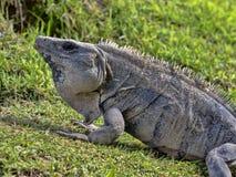 La iguana negra, similis de Ctenosaura, es un lagarto masivo, residiendo sobre todo en la tierra, Belice fotos de archivo