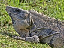 La iguana negra, similis de Ctenosaura, es un lagarto masivo, residiendo sobre todo en la tierra, Belice imágenes de archivo libres de regalías