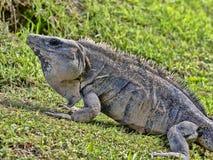 La iguana negra, similis de Ctenosaura, es un lagarto masivo, residiendo sobre todo en la tierra, Belice imagen de archivo