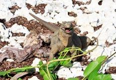 La iguana salvaje come las hojas frescas. Fotografía de archivo