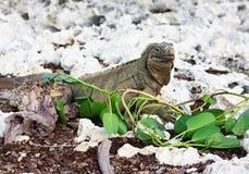 La iguana salvaje come las hojas frescas. Imagen de archivo