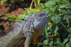 La iguana salvaje que come la planta se va fuera de un jardín de hierbas en Puerto Vallarta México Pectinata de Ctenosaura, conoc imágenes de archivo libres de regalías
