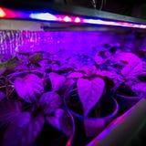 La iluminación del LED crece las plantas Imagenes de archivo