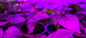 La iluminación del LED crece las plantas Fotografía de archivo libre de regalías