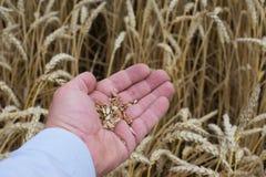 La imagen ascendente del cierre de la mano del hombre con los granos riped no limpiados crudos del trigo muestra o probando la ca Foto de archivo libre de regalías