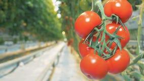 La imagen borrosa de un racimo de tomates rojos se enfoca almacen de metraje de vídeo