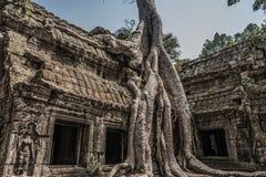 La imagen clásica del templo de TA Prohm, árbol arraiga el crecimiento sobre el ru Fotos de archivo libres de regalías