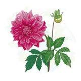 La imagen de la dalia de la flor Imagenes de archivo