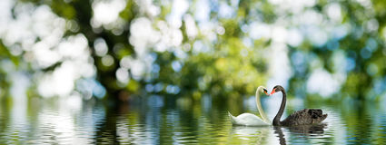 La imagen de dos cisnes en el agua Fotos de archivo libres de regalías