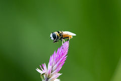 La imagen de la abeja se encaramó en la flor en fondo de la naturaleza Imagen de archivo