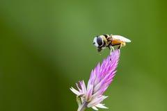 La imagen de la abeja se encaramó en la flor en fondo de la naturaleza Imagen de archivo libre de regalías