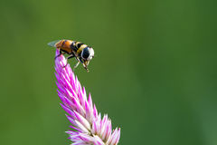 La imagen de la abeja se encaramó en la flor en fondo de la naturaleza Imágenes de archivo libres de regalías