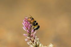 La imagen de la abeja se encaramó en la flor en fondo de la naturaleza Imagenes de archivo