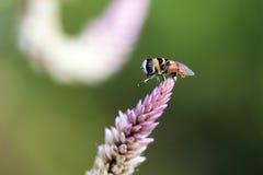 La imagen de la abeja se encaramó en la flor en fondo de la naturaleza Fotos de archivo