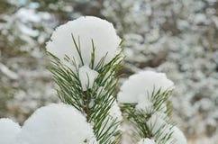 La imagen de la rama de árbol de pino Imagen de archivo