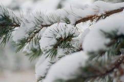 La imagen de la rama de árbol de pino Fotos de archivo