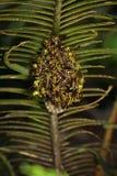 La imagen de un apachus del Polistes de la avispa de Apache y la avispa jerarquizan Fotos de archivo