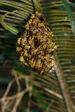 La imagen de un apachus del Polistes de la avispa de Apache y la avispa jerarquizan en natu Fotos de archivo