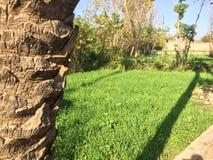 La imagen del árbol de los puntos con el cielo azul y los cultivos en campo verdes Imágenes de archivo libres de regalías
