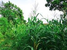 La imagen del árbol del maíz imagen de archivo