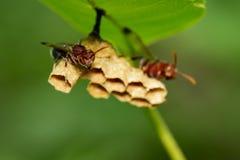 La imagen del fasciata común de la avispa de papel/de Ropalidia y la avispa jerarquizan Imagenes de archivo