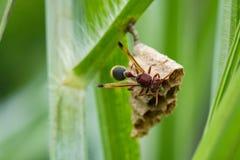 La imagen del fasciata común de Ropalidia de la avispa de papel y la avispa jerarquizan Imágenes de archivo libres de regalías