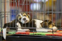 La imagen del perrito del beagle está en la jaula Perro pet Animales foto de archivo