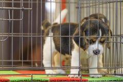 La imagen del perrito del beagle está en la jaula Perro pet Animales fotografía de archivo