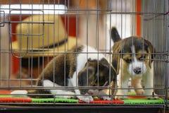 La imagen del perrito del beagle está en la jaula Perro pet Animales fotografía de archivo libre de regalías