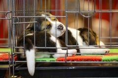 La imagen del perrito del beagle est? en la jaula Perro pet Animales fotos de archivo