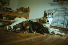 La imagen del perro lindo que cuida sus pequeños perritos Imágenes de archivo libres de regalías