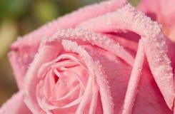 La imagen del primer de los cristales de la helada en un rosado subió Imagen de archivo